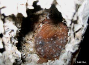 A Carolina wren nesting in a hornets nest during winter