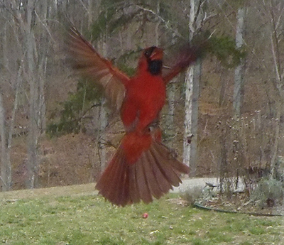 Photo of a cardinal bird flying against a window taken from inside