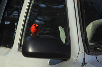 Male cardinal bird sitting on a side mirror on a car