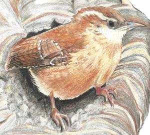 Illustration of a Carolina Wren